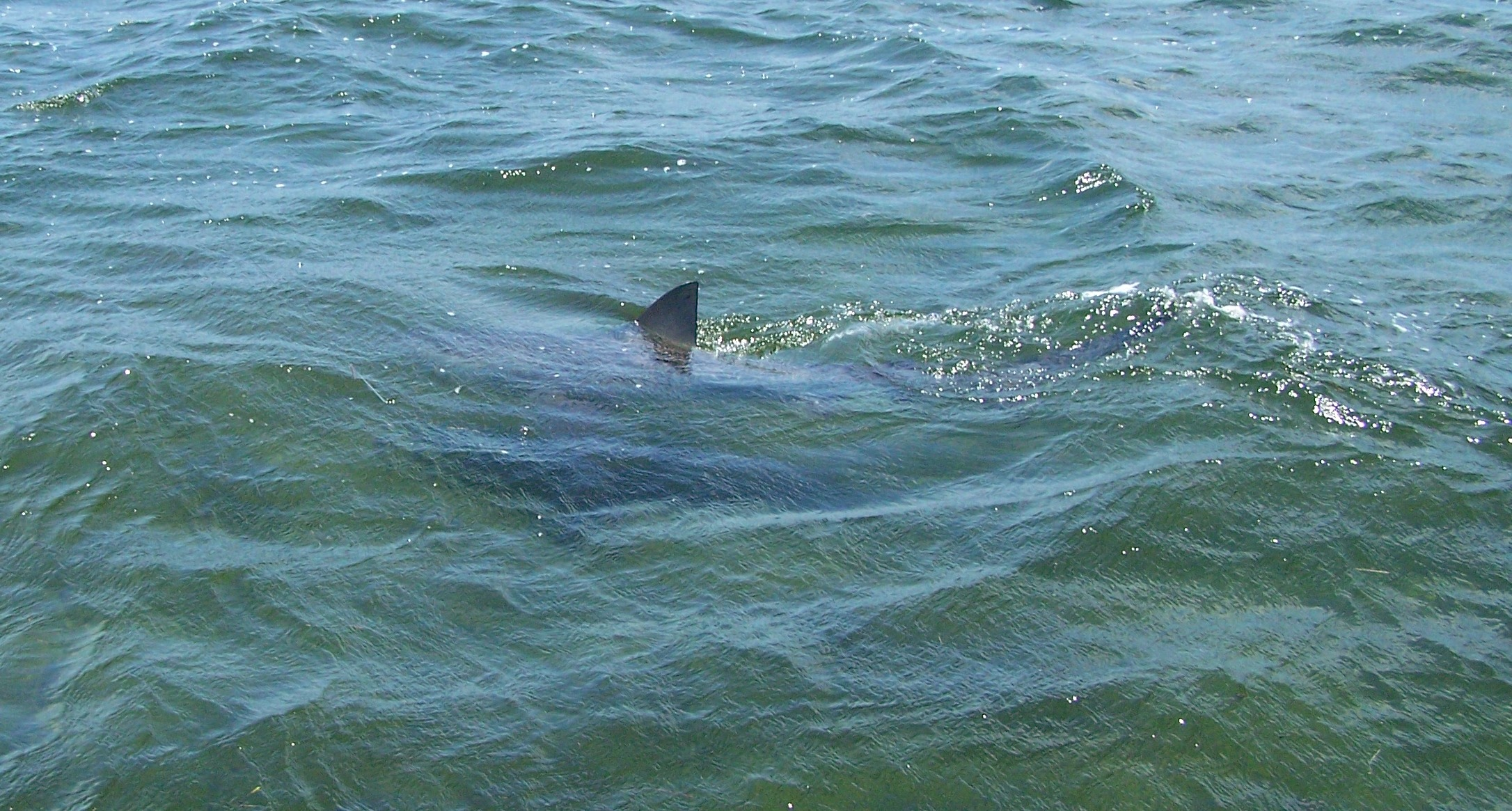 Close encounters of the shark kind in the florida keys for Shark fishing in florida