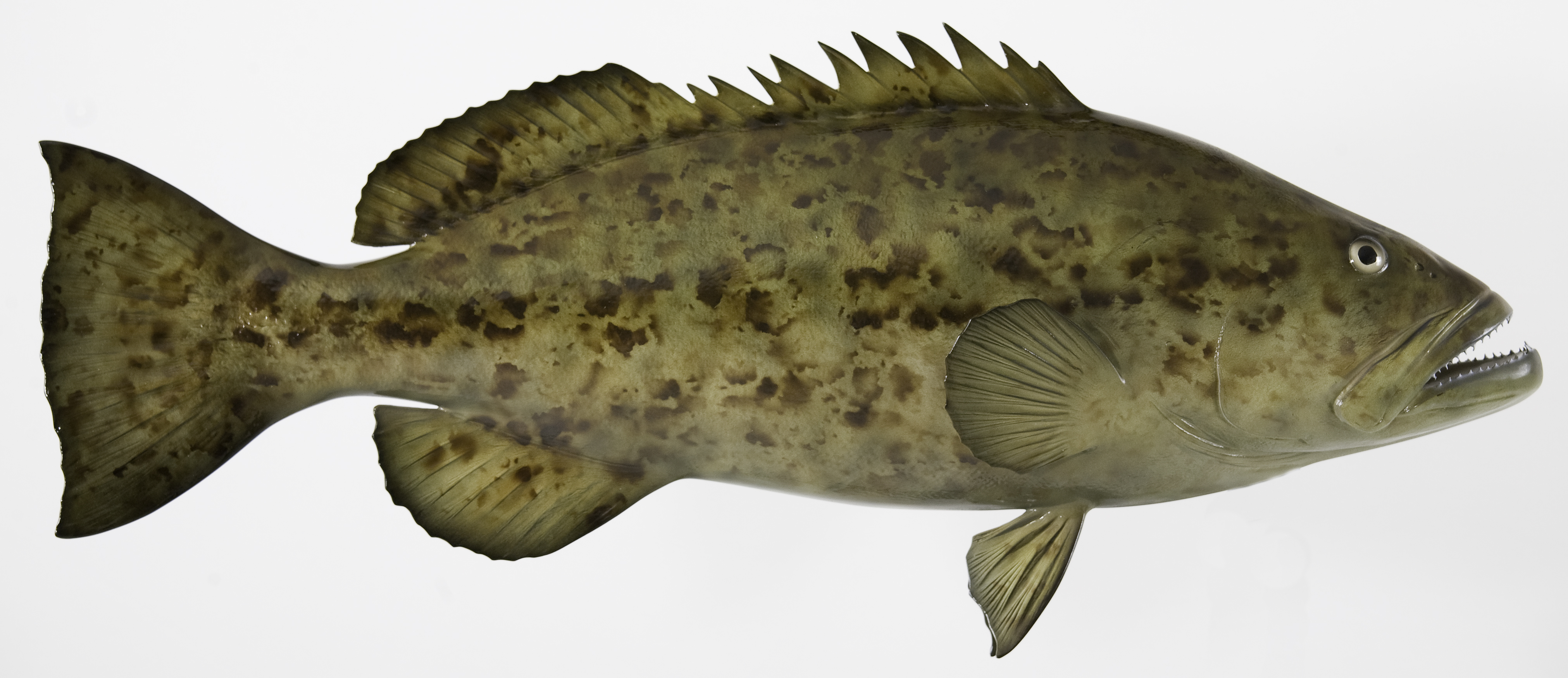 Bring your trophy shark home to live with you forever for Goliath grouper fish